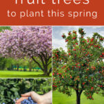 """Collage with the words """"8 fruit trees to plant this spring"""" on top, apple tree with ripe apples on the right, cherry tree with blossoms on top left, and hands holding blueberries in front of a blueberry bush on the bottom list"""